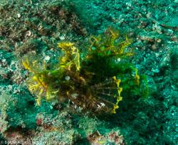 BD-090928-Lembeh-9284713-Rhinopias-frondosa-(Günther.-1892)-[Weedy-scorpionfish].jpg